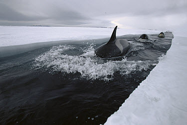 Orca (Orcinus orca) travels down opening leads of ice, making deep dives under ice to hunt Antarctic Cod, McMurdo Sound, Antarctica, sequence 3 of 4  -  Norbert Wu