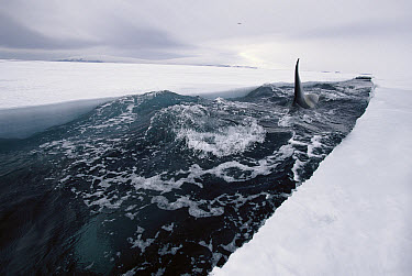 Orca (Orcinus orca) travels down opening leads of ice, making deep dives under ice to hunt Antarctic Cod, McMurdo Sound, Antarctica, sequence 4 of 4  -  Norbert Wu