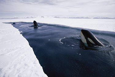 Orca (Orcinus orca) pod resting at end of lead of ice, make deep dives under ice to hunt Antarctic cod, Antarctica  -  Norbert Wu