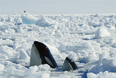 Orca (Orcinus orca) mother and calf spyhopping in icebreaker channel, must find open pockets of water to breathe, McMurdo Sound, Antarctica  -  Norbert Wu