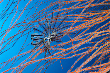 Feather Star (Crinoidea) climbs to top of Sea Fans to catch food in current, Palau  -  Norbert Wu