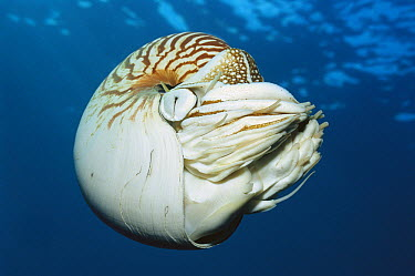 Chambered Nautilus (Nautilus pompilius) comes up from great depths at night to shallows, Palau  -  Norbert Wu