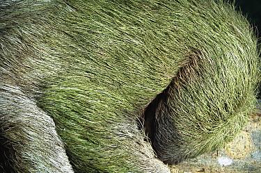 Brown-throated Three-toed Sloth (Bradypus variegatus) gentle and slow-moving, symbiotic algae in hair, Panama Rainforest  -  Norbert Wu
