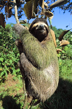 Brown-throated Three-toed Sloth (Bradypus variegatus) gentle and slow-moving with symbiotic algae growing in their hair, rainforest ecosystem, Panama  -  Norbert Wu