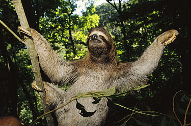 Brown-throated Three-toed Sloth (Bradypus variegatus) gentle and slow-moving with symbiotic algae growing in hair, rainforest ecosystem, Panama  -  Norbert Wu