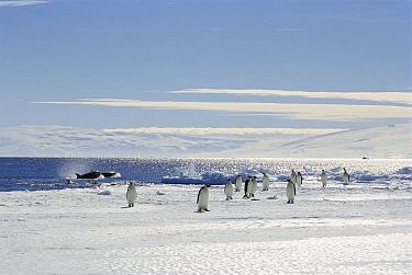Emperor Penguin (Aptenodytes forsteri) group on ice edge next to predatory Orcas (Orcinus orca), Antarctica  -  Norbert Wu