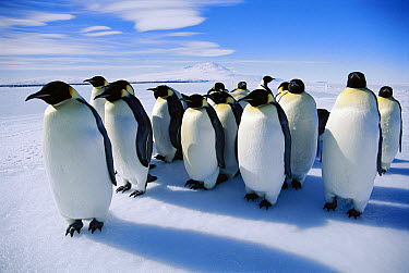 Emperor Penguin (Aptenodytes forsteri) group on ice edge, calls are used to recognize each other and form pairs for mating, Antarctica  -  Norbert Wu
