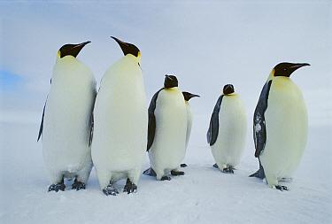 Emperor Penguin (Aptenodytes forsteri) group seeking rookery, may walk 100 miles to reach rookery, Antarctica  -  Norbert Wu