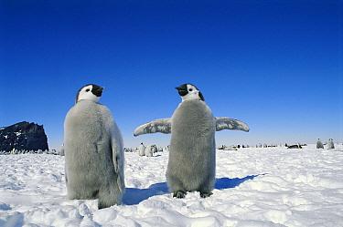 Emperor Penguin (Aptenodytes forsteri) two chicks, parents can recognize chick's call among 50, 000 birds, Antarctica  -  Norbert Wu