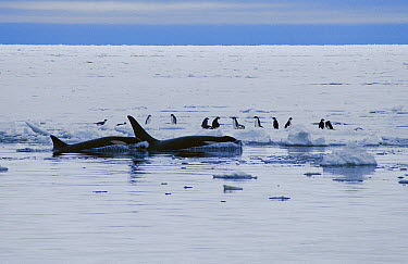 Orca (Orcinus orca) group hunting Adelie Penguins (Pygoscelis adeliae) on pack ice, Antarctica  -  Norbert Wu