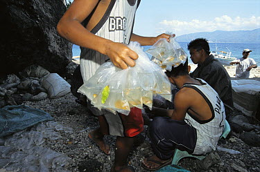 Islanders from Cabo Verde Village use environmentally sound methods to catch tropical fish for the aquarium trade, Philippines  -  Norbert Wu