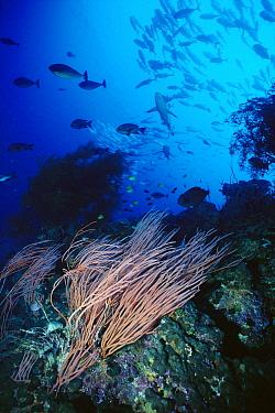 Cavalla (Caranx sp) school and Great Barracuda (Sphyraena barracuda) swirl behind walls of Sea Fans, Papua New Guinea  -  Norbert Wu