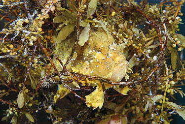 Sargassum Frogfish (Histrio histrio) rides amongst rafts of floating Sargassum seaweed, looks almost exactly like the weed itself Papua New Guinea  -  Norbert Wu
