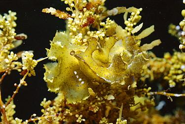 Sargassum Nudibranch (Scyllaea pelagica) pair mating, snails ride amongst rafts of floating Sargassum seaweed, look almost exactly like the weed itself Papua New Guinea  -  Norbert Wu