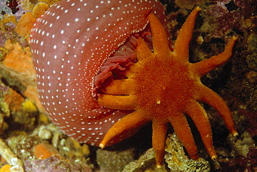 Morning Sun Star (Solaster dawsoni) fed on by Rose Anemone, Queen Charlotte Islands, Canada  -  Norbert Wu
