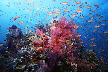 Basslet (Pseudanthias sp) school crowds coral wall with colorful Soft Corals (Dendronephthya sp), Red Sea  -  Norbert Wu