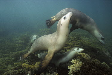Australian Sea Lion (Neophoca cinerea) group, a favorite prey of Great White Sharks, South Australia  -  Norbert Wu
