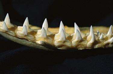 Bull Shark (Carcharhinus leucas) teeth, Florida  -  Norbert Wu