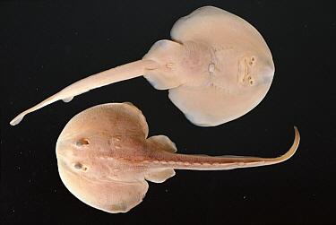 Stingray (Dasyatidae) pair, California  -  Norbert Wu