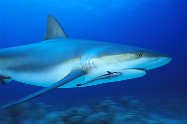 Caribbean Reef Shark (Carcharhinus perezii) with remora attached, Bahamas, Caribbean  -  Norbert Wu