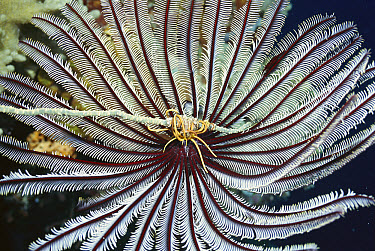 Feather Star Crinoid (Crinoidea) with shrimp which is colored like its host, steals food from crinoid's arms, Palau  -  Norbert Wu