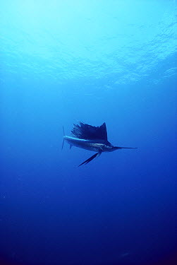 Pacific Sailfish (Istiophorus platypterus) underwater, fastest fish, 68 miles per hour, Sea of Cortez, Baja California, Mexico  -  Norbert Wu