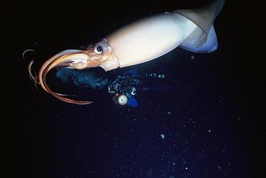 Humboldt Squid (Dosidicus gigas), Sea of Cortez, Baja California, Mexico  -  Norbert Wu