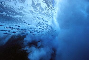 Flagtail (Kuhlia taeniura) school among huge waves, Pacific Ocean, Roca Partida, Revillagigedo, Mexico  -  Norbert Wu