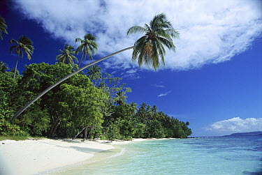 Idyllic beach, palm tree and tropical island, Solomon Islands  -  Norbert Wu
