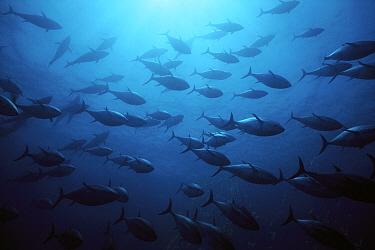 Atlantic Bluefin Tuna (Thunnus thynnus) school in Mediterranean Sea, Sardinia, Italy  -  Norbert Wu