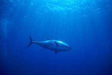 Atlantic Bluefin Tuna (Thunnus thynnus) underwater, Sardinia, Italy, Mediterranean Sea  -  Norbert Wu