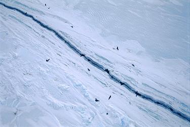 Weddell Seal (Leptonychotes weddellii) group gather around crack in sea ice, Antarctica  -  Norbert Wu