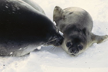 Weddell Seal (Leptonychotes weddellii) mother and newborn pup, Antarctica  -  Norbert Wu