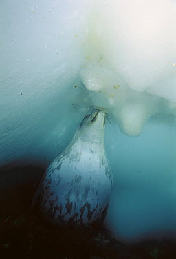 Weddell Seal (Leptonychotes weddellii) at breathing hole, they sometimes fight to protect breathing holes, peering down to scan for rivals, Antarctica  -  Norbert Wu