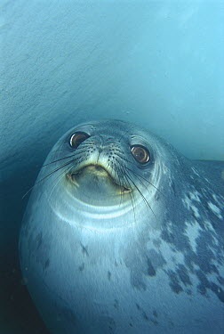 Weddell Seal (Leptonychotes weddellii) in underwater ice cave, Antarctica  -  Norbert Wu