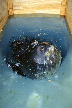 Scientists put video camera and telemetric devices on Weddell Seal (Leptonychotes weddellii) to track movements and physiology, Antarctica  -  Norbert Wu