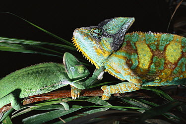 Old-world Chameleons, male and female preparing to mate, Africa  -  Norbert Wu