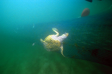 Green Sea Turtle (Chelonia mydas) caught in the net of a Shrimp trawl, trawling is unselective, catching fish, turtles and other species, Florida  -  Norbert Wu