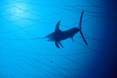 Swordfish (Xiphias gladius) caught in fishing net, population is threatened by overfishing, worldwide, Sardinia, Italy, Mediterranean sea  -  Norbert Wu