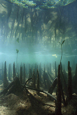 Mangrove (Rhizophora sp) roots act as sediment traps and nurseries, help create healthy coral reefs, view of underwater pneumatophores, Palau  -  Norbert Wu