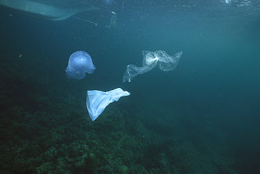 Plastic bags look like jellyfish and kill turtles and other marine life mistakenly eating them, Philippines  -  Norbert Wu