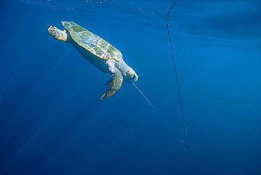 Loggerhead Sea Turtle (Caretta caretta) caught on long-line, will drown if not released in time, Baja California, Mexico  -  Norbert Wu