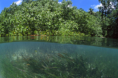 Mangrove (Rhizophora sp) and Seagrass act as sediment traps and nurseries, spread by floating seeds, Palau  -  Norbert Wu