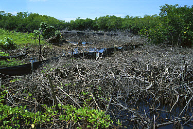 Mangrove (Rhizophora sp) swamps filled-in to create land, destroys marine ecosystems, mangroves serve as sediment traps and nurseries, Palau  -  Norbert Wu