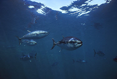 Southern Bluefin Tuna (Thunnus maccoyii) group, underwater, South Australia, critically endangered  -  Norbert Wu