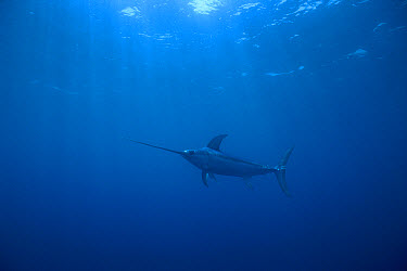 Swordfish (Xiphias gladius) worldwide, can tolerate temperatures of five degrees Celsius and dive to 650 meters, uses sword to kill prey such as squid, Sardinia, Italy, Mediterranean Sea  -  Norbert Wu