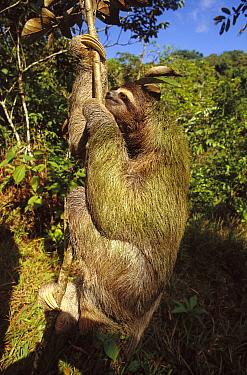 Brown-throated Three-toed Sloth (Bradypus variegatus) with symbiotic algae growing in hair, rainforest ecosystem, Panama  -  Norbert Wu