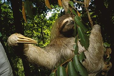 Brown-throated Three-toed Sloth (Bradypus variegatus) hanging in rainforest tree, Panama  -  Norbert Wu