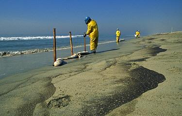 Oil spill clean up on beach, Huntington Beach, California  -  Norbert Wu