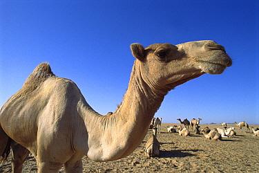 Dromedary (Camelus dromedarius) camel group resting, Sahara Desert, Aswan, Egypt  -  Norbert Wu